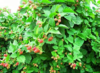 black raspberry bush
